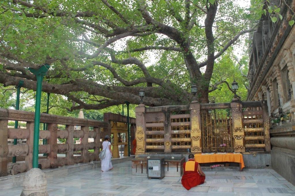 Дерево бодгі у Бодгаї